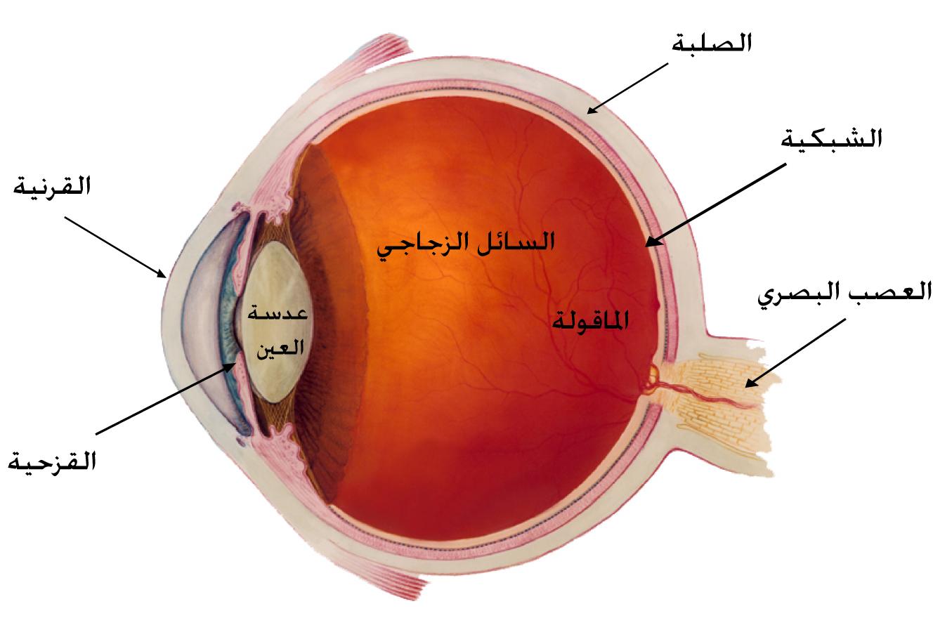 تركيب العين الجزء الثاني