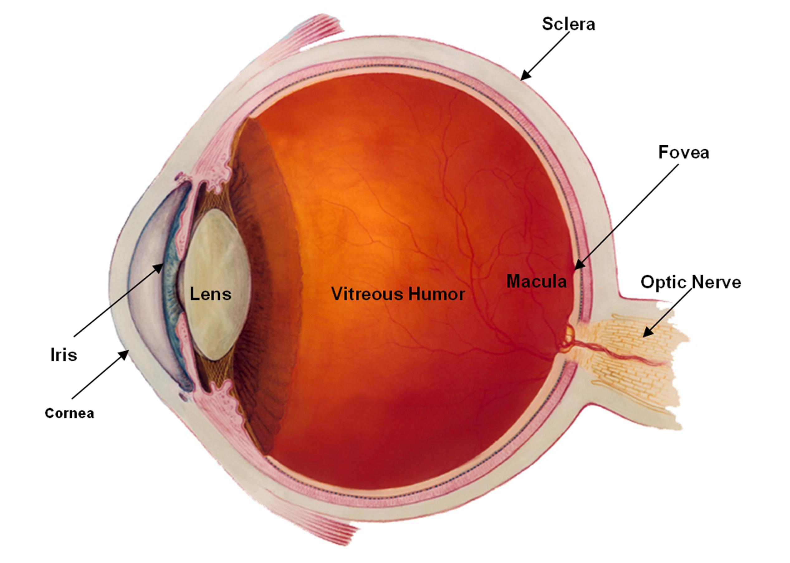 11 Eye Structure - E