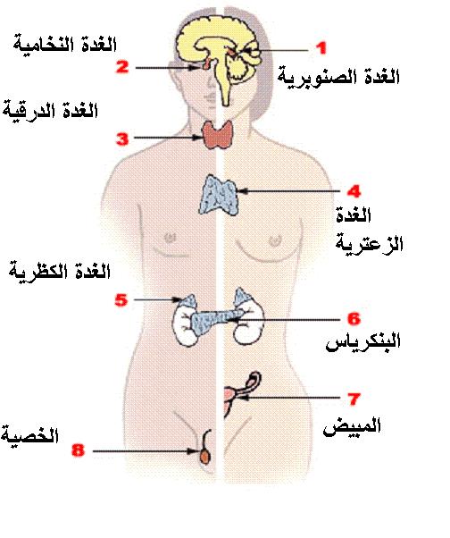 الغدد الصماء ما هي وظيفتها وأنواعها وأمراضها وخطوات علاجها مستشفيات مغربي